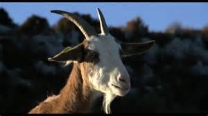 Les chèvres 3